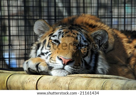 Sleeping and peaceful tiger