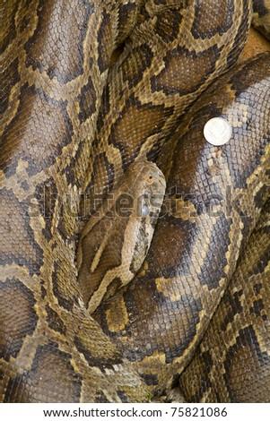 sleeping asian python close-up photo - stock photo