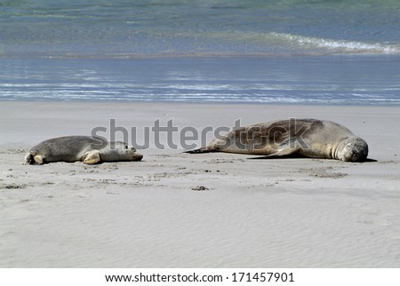 sleeping australian sea lions on Kangaroo Island