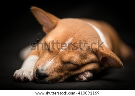 Sleeping basenji puppy sleeping against black background with paws stretched out - stock photo