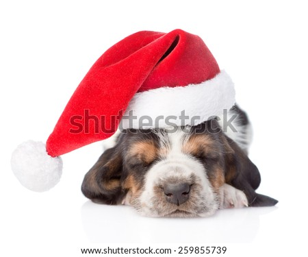 Sleeping basset hound puppy in red santa hat. isolated on white background - stock photo