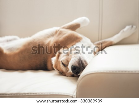 Sleeping beagle on sofa - stock photo