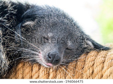 Sleeping binturong close up shot in soft background