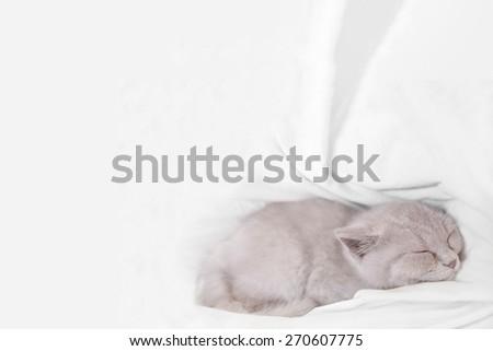 sleeping british cat on white bed  - stock photo