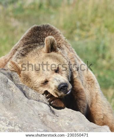 sleeping brown bear - stock photo