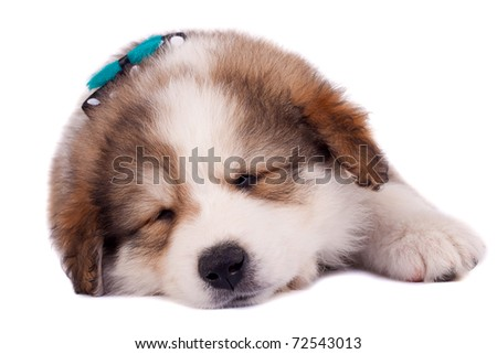 sleeping bucovinean shepard puppy over white , wearing a nice neck-bow - stock photo