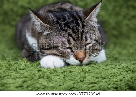 Sleeping cat.Cat dreaming,closed eyes  isolated on green background.