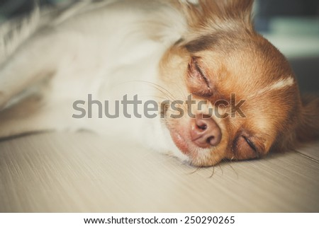 sleeping chihuahua - stock photo