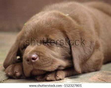 Sleeping chocolate lab puppy - stock photo
