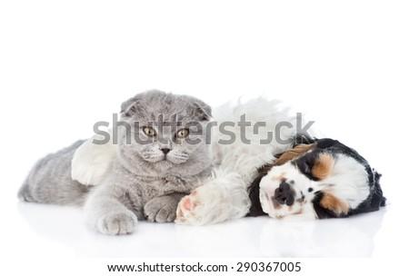 sleeping Cocker Spaniel puppy embracing Scottish cat. isolated on white background - stock photo