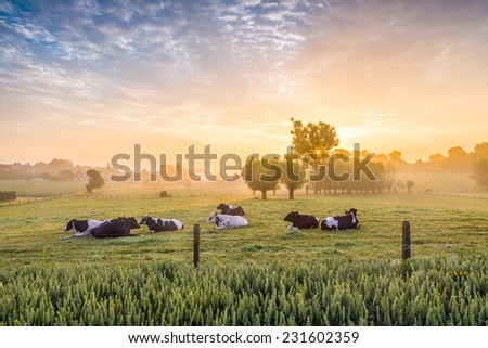 Sleeping cows at sunrise - stock photo
