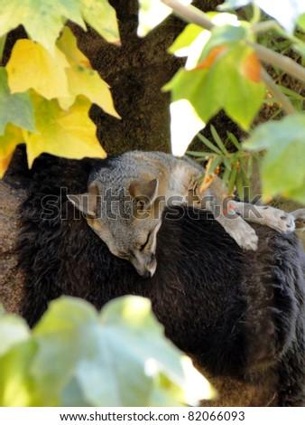 Sleeping Desert Fox - stock photo