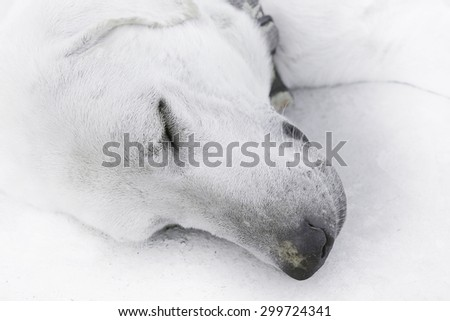 sleeping dogs - stock photo