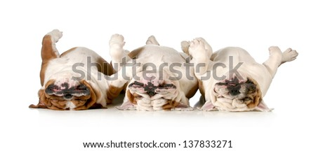 sleeping dogs - three bulldogs laying upside down isolated on white background