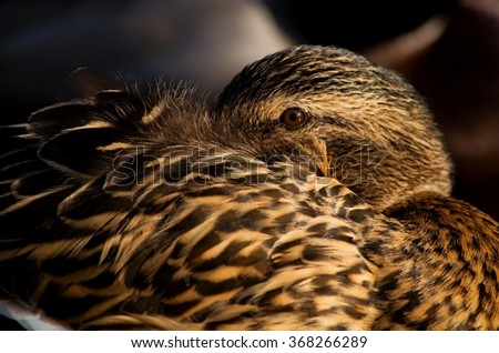 Sleeping duck on the river bank - stock photo