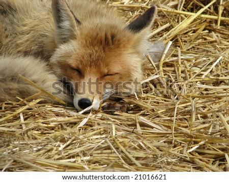 Sleeping fox - stock photo