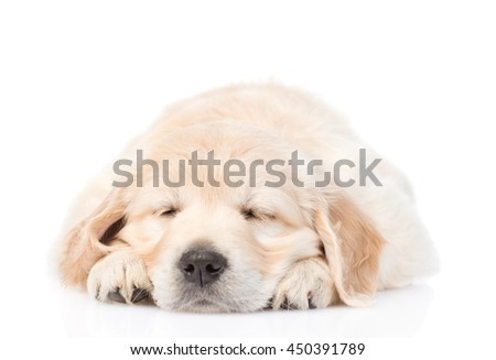 Sleeping golden retriever puppy dog in front view. isolated on white background