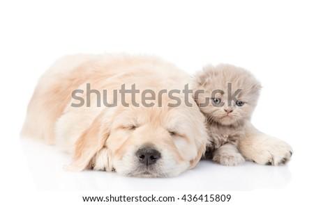 Sleeping golden retriever puppy embracing tiny kitten. isolated on white background - stock photo