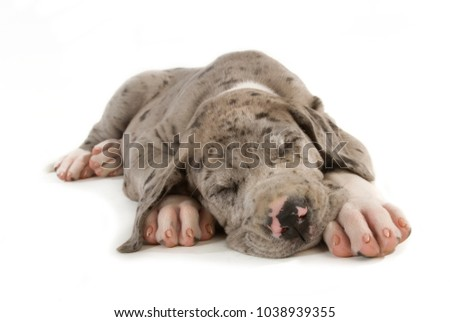 Sleeping great dane puppy isolated on white background