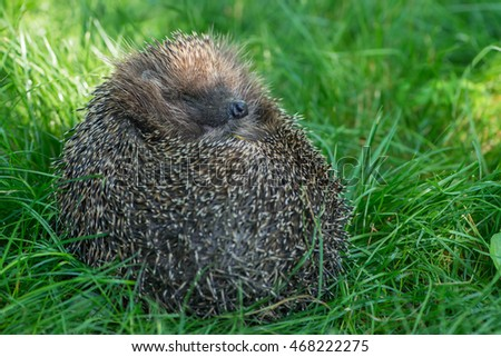 Sleeping hedgehog