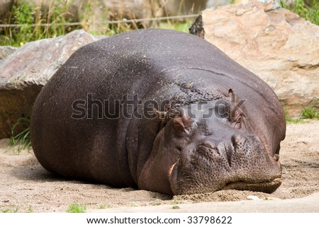 sleeping hippopotamus