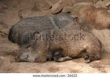 Sleeping hog - stock photo