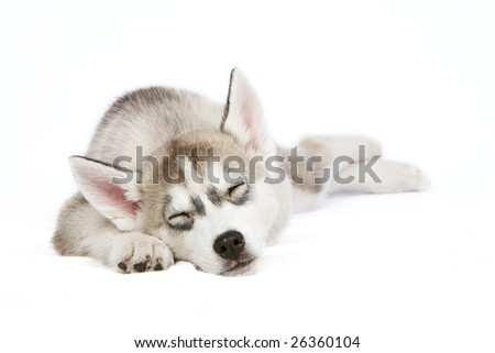 Sleeping Husky puppy - stock photo