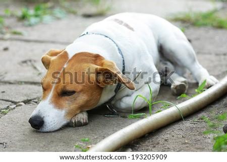 sleeping jack russel - stock photo