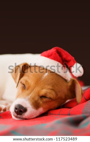 sleeping jack russel close up - stock photo