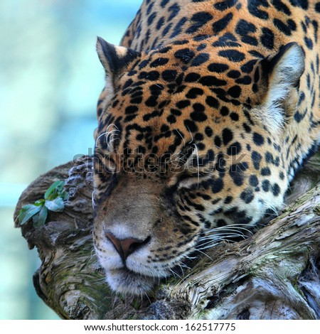sleeping jaguar  - stock photo