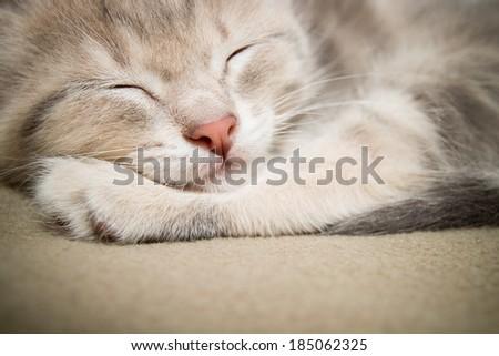 sleeping kitten  close up, animals, domestic cat, relaxing cat, cat resting  - stock photo