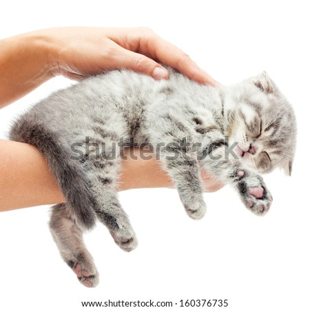 Sleeping kitten on hand white background.British Shorthair cat. - stock photo