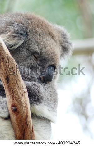 sleeping koala - stock photo