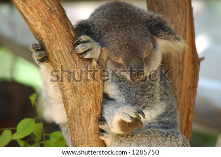 sleeping koala in a tree - stock photo