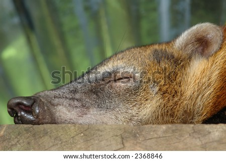 sleeping koati. amazonian rain forest. ecuador. south america - stock photo