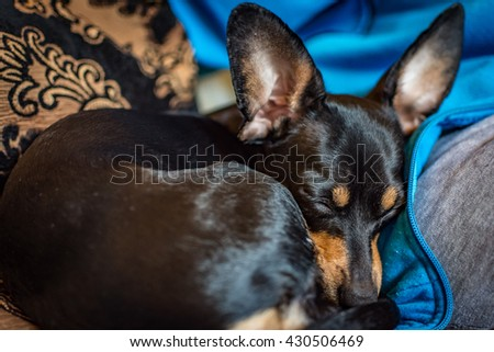 Sleeping lazy black dog on the sofa with vintage flower patterned pillow in the background - stock photo