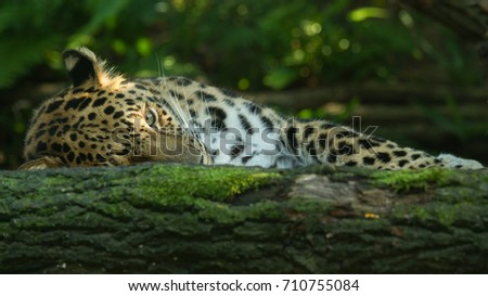 stock-photo-sleeping-leopard-with-one-ey