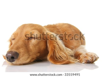 Sleeping long hair dachshund puppy