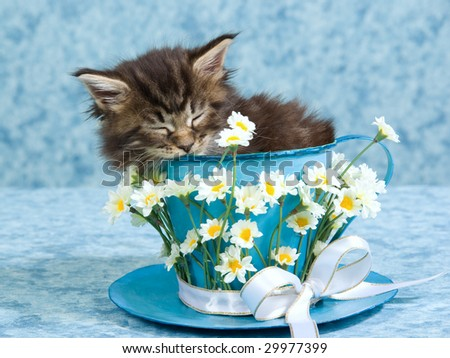 Sleeping Maine Coon kitten, sitting inside large cup decorated with daisies flowers - stock photo