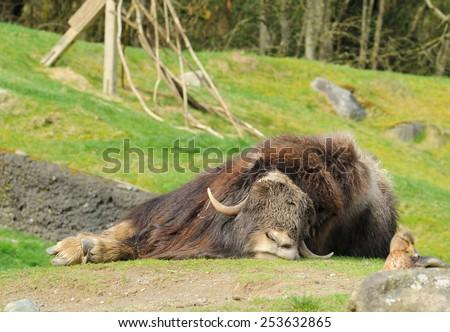 Sleeping musk-ox - stock photo