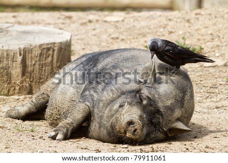 sleeping pig on the head with a jackdaw - stock photo