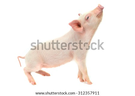 sleeping pigs on a white background. studio - stock photo