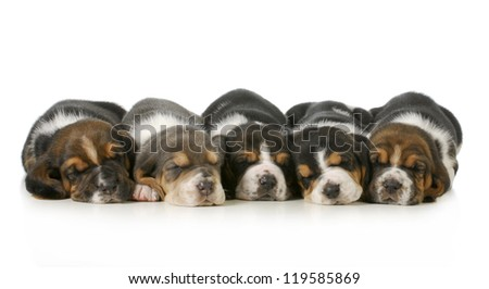 sleeping puppies - litter of five basset hounds lined up in a row isolated on white background - three weeks old - stock photo