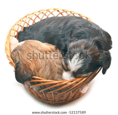 Sleeping puppies of breed the Chinese crested dog in basket. Isolation on white background. Shallow DOF - stock photo