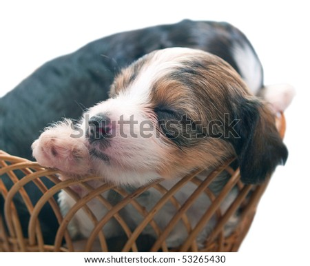 Sleeping puppies of breed the Chinese crested dog in basket. Shallow DOF - stock photo