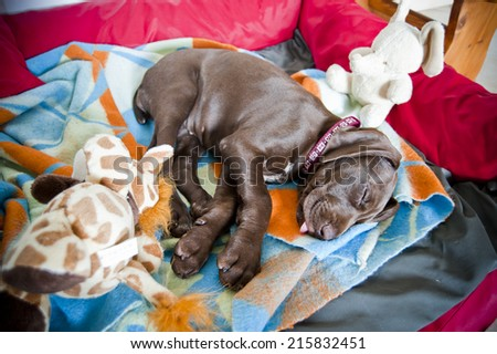german shorthaired pointer puppies with christmas hats