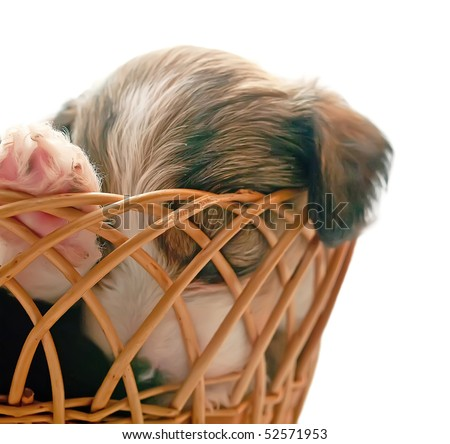 Sleeping puppy of breed the Chinese crested dog in basket. Isolation on white background. Shallow DOF, focus on paw of dog. - stock photo