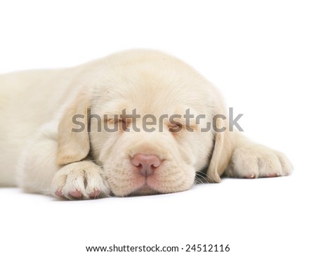 Sleeping puppy of Labrador. A sleep puppy on a white background.