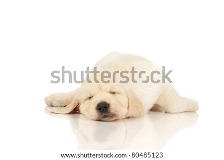 sleeping puppy retriever - stock photo