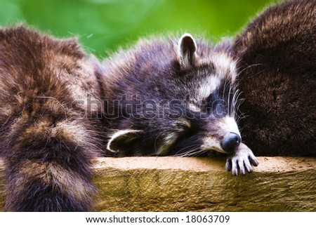 Sleeping racoons (lat. Procyon lotor), focus is on the eyes. - stock photo